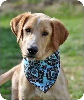 Labrador Retriever/Golden Retriever Mix Puppy for adoption in Portsmouth, Rhode Island - Catch