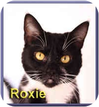 Domestic Shorthair Cat for adoption in Aldie, Virginia - Roxie