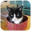 Photo 1 - Domestic Shorthair Cat for adoption in Pascoag, Rhode Island - Mitzi