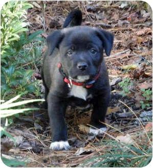 Hound (Unknown Type)/Labrador Retriever Mix Puppy for adoption in Marietta, Georgia - Moonstone