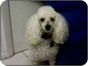 Poodle (Toy or Tea Cup) Dog for adoption in Melbourne, Florida - CAMERON