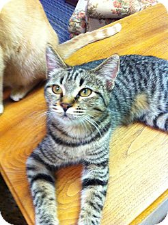 Domestic Shorthair Cat for adoption in Phoenix, Arizona - GABBY