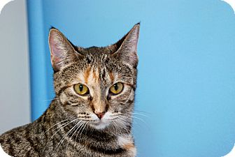 Domestic Shorthair Cat for adoption in Chicago, Illinois - Amina