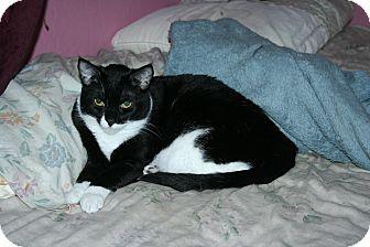 Domestic Shorthair Cat for adoption in Santa Rosa, California - Hyacinth