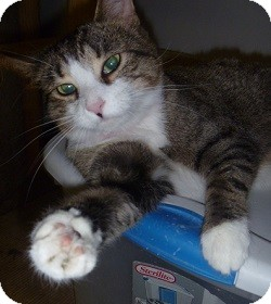 Domestic Shorthair Cat for adoption in Hamburg, New York - Stacey
