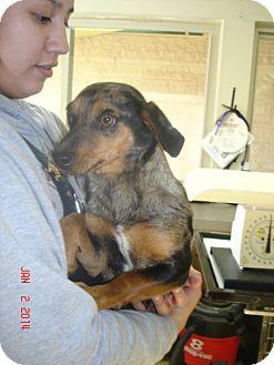 Dachshund Mix Dog for adoption in Stilwell, Oklahoma - Ava