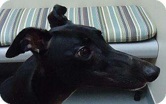 Greyhound Dog for adoption in Longwood, Florida - My Scottish Gal