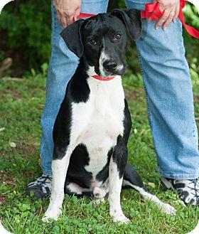 Spaniel (Unknown Type)/Labrador Retriever Mix Dog for adoption in New Martinsville, West Virginia - Tommy