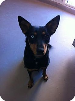 German Shepherd Dog Mix Dog for adoption in Las Cruces, New Mexico - Sadie