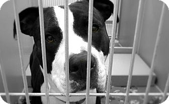 Pit Bull Terrier/Labrador Retriever Mix Dog for adoption in Council Bluffs, Iowa - Prince