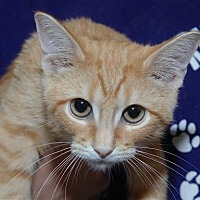 Domestic Shorthair Cat for adoption in Houston, Texas - Valentino