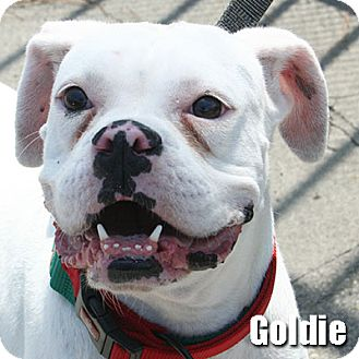 Boxer Dog for adoption in Encino, California - Goldie