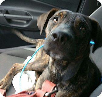 Labrador Retriever Mix Dog for adoption in Williamsburg, Virginia - Snoop