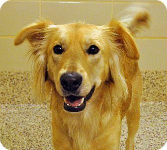 Golden Retriever Mix Dog for adoption in Aiken, South Carolina - Arlo