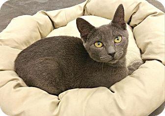 Domestic Shorthair Kitten for adoption in Lexington, North Carolina - Festus