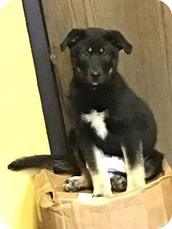 German Shepherd Dog Mix Puppy for adoption in Astoria, New York - Bear