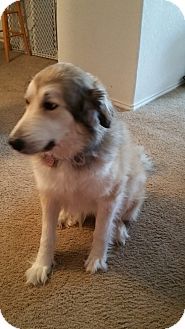 Great Pyrenees/Anatolian Shepherd Mix Puppy for adoption in West Hartford, Connecticut - Shelby