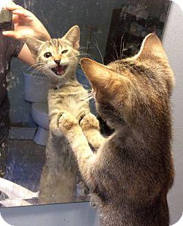 Domestic Shorthair Kitten for adoption in Savannah, Georgia - Macy