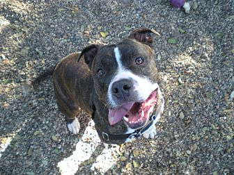 American Staffordshire Terrier Mix Dog for adoption in Lompoc, California - Loki