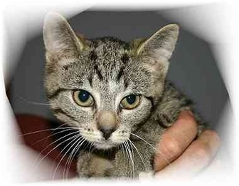 Domestic Shorthair Cat for adoption in Montgomery, Illinois - Billy