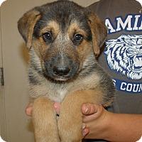 Adopt A Pet :: GSD PUPS A - Corona, CA