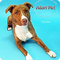 Adopt A Pet :: Sheba - New Milford, CT