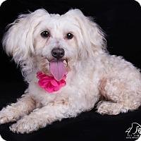 Adopt A Pet :: Lacy - Lodi, CA