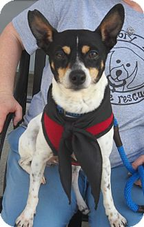 Rat Terrier Dog for adoption in Ashland, Virginia - Tebow-ADOPTED!!!