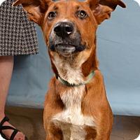 Adopt A Pet :: Drew - Minneapolis, MN