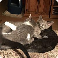 Adopt A Pet :: Chris Cornell - Loveland, CO