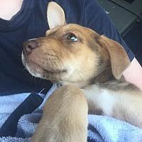 Adopt A Pet :: Artemis - BONITA, CA