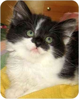 Domestic Longhair Kitten for adoption in Athens, Ohio - Beauty