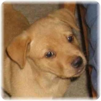 Labrador Retriever Mix Puppy for adoption in Seattle c/o Kingston 98346/ Washington State, Washington - Pasta Pups Litter