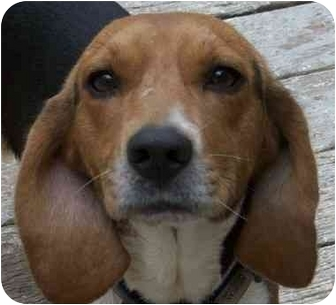 Beagle Dog for adoption in Ventnor City, New Jersey - STANLEY