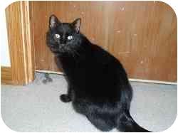Domestic Shorthair Cat for adoption in Hamburg, New York - Wadsworth