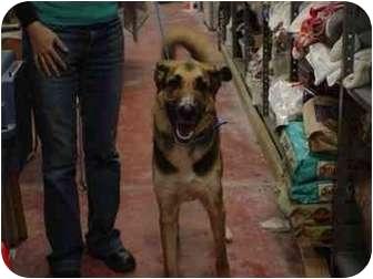 Great Dane/German Shepherd Dog Mix Dog for adoption in Wilmington, Delaware - Moose
