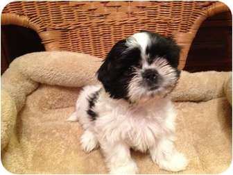 Shih Tzu Puppy for adoption in waterbury, Connecticut - Peanut