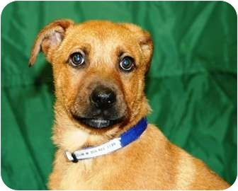 Shepherd (Unknown Type)/Boxer Mix Puppy for adoption in Westminster, Colorado - HELIUM