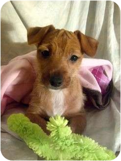Yorkie, Yorkshire Terrier Mix Puppy for adoption in West Milford, New Jersey - Hazel