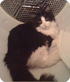 Domestic Mediumhair Cat for adoption in Laguna Woods, California - Kawi