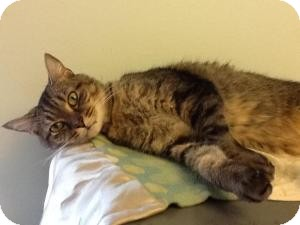 Domestic Shorthair Cat for adoption in New Kent, Virginia - Toulouse