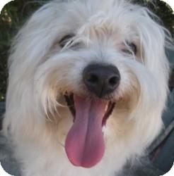 Havanese Mix Dog for adoption in Sacramento, California - Swami