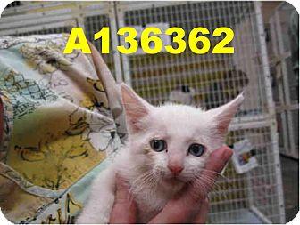 Domestic Mediumhair Kitten for adoption in Scottsdale, Arizona - Atlas- courtesy post