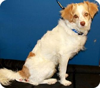 Welsh Springer Spaniel Mix Dog for adoption in Gilbert, Arizona - Bonree