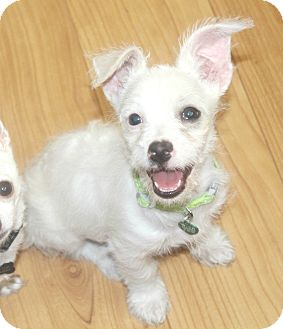 Westie, West Highland White Terrier/Terrier (Unknown Type, Small) Mix Puppy for adoption in Yorba Linda, California - Melody - I do not shed!