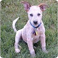 Adopt A Pet :: Evan - Phoenix, AZ