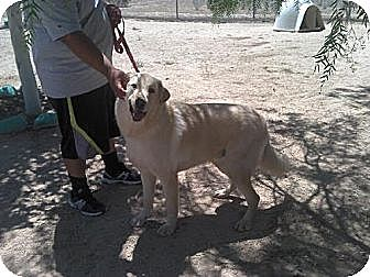 Labrador Retriever/Great Dane Mix Dog for adoption in Sherman Oaks, California - Oso - special needs and handling needed