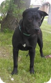 Pit Bull Terrier Mix Dog for adoption in Gary, Indiana - Gabby