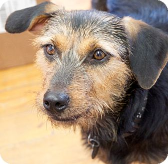 Terrier (Unknown Type, Medium) Mix Dog for adoption in Knoxville, Tennessee - Harley