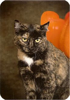 Domestic Shorthair Cat for adoption in Greensboro, North Carolina - Patches